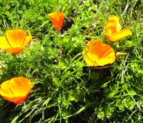 California Poppy. The State Flower.